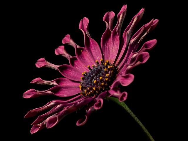 african-daisy-3405_640
